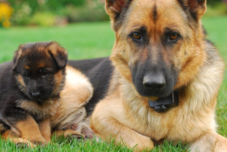German Shepherd Dog Breeder In Florida With Pink Papers – Choose The
